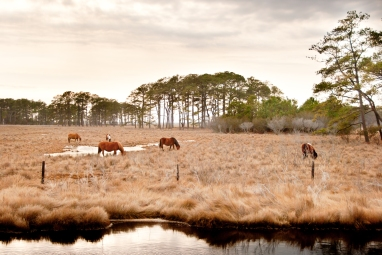 Mark Zastrow | chincoteague horses